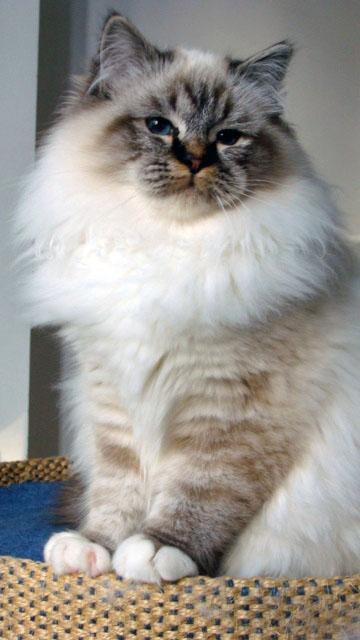 Chatterie d 39 avillon eleveur de chat sacr de birmanie - Prix chat munchkin ...